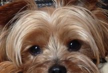 I ❤️ Yorkies / I have a Yorkie called Jodie. They are such sweet dogs.