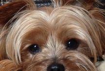 Love my Yorkshire Terrier / Love my Yorkshire Terrier