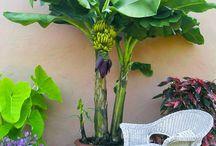 Fruit trees / veges / herbs in pots / Growing fruit trees in pots