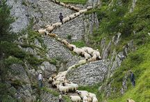 Sheep / All about sheep / by John Bailey