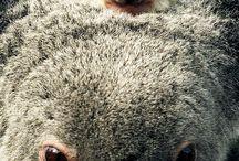 Koala / Koala's