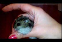 джунгарский хомячок