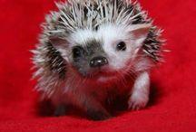 Hedgehogs/Sündisznó
