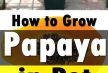 grow pappaya