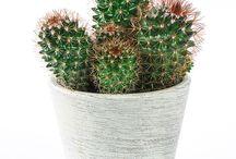 Kaktusar / Cactus / Taggiga men annars lätta att sköta!