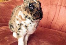 Barnabášek / Králík leopardí rex / mini rex rabbit