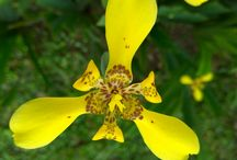 Beautiful World / Blooming Yellow Iris
