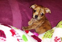 Little Princess Chloe / My Christmas present 2013 - Female, got her at age : 9 weeks.  Chorkie (a chihuahua and yorkie mix).   / by Julie Wright