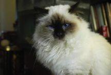 lionheart cattery / Cat breeder