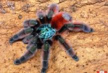 Thoroughly theraphosidae / Arachnophilia