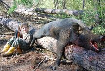 pigs / hunting