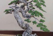 bonsai pavorit saem