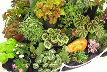 Begonia arrangements