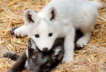 Arctic Fox / Como Zoo's Arctic Foxes