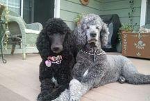 Poodle (origem - França):segunda raça canina mais inteligente.Treinável, alerta, instintivo, fiel...