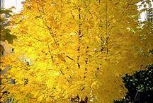 arbol amarillo