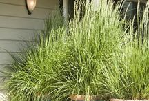 Decorate your garden with herbs / Lemmon grass in pots
