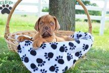 Dogue De Bordeaux/French Mastiff