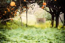 Greece - Orange Trees