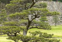 Drzewo niwaki