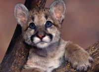 Conn Cougars / by Vanese Clough