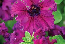 2015 - The Year of the Petunia