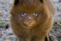 Pomeranians:))