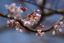 荘川桜とソメイヨシノ蕾 / 2015/03/20