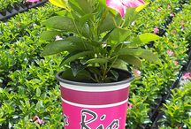 Rio™ Dipladenia / Rio Dipladenia tropicals produce beautiful bright blooms and lush foliage yet they are hardy enough to thrive in non-tropical climates all season long. Easy care, sun loving and drought tolerant!