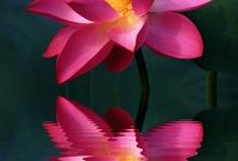 Lotus flowers and waterlilies