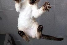 siamese cats / Siamese cats