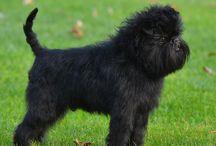 Affenpinscher / Cette race de chiens originaire d'Allemagne est très ancienne. À l'origine c'était probablement des chiens  de famille. Des chiens semblables ont été représentés dès les XVe et XVIe siècles par  les artistes Jan Van Eyck et Albrecht Dürer. Au XVIIe siècle les commerçants et fermiers allemands l'utilisent pour ses formidables qualités de ratier. Aujourd'hui c'est surtout un chien de compagnie. http://authentiqueorigine.com/les-chiens-de-race-affenpinscher.php
