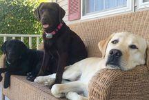 Zwarte Labradors