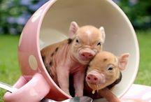 Teacup Pig :D / Teacup Piggggggg :D xxx