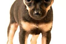 Chihuahuas!❤ / Great things come in small packages.