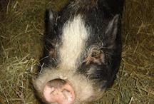 Pig cuteness!