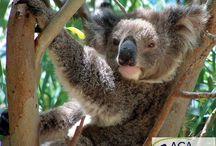 """Koalas bald ausgestorben?  / Der Lebensraum der Koalas wird immer weiter zersiedelt. Dadurch stehen sie immer wieder vor Hindernissen wie Straßen und Häusern oder sie werden von streunenden Hunden angegriffen. Zusammen mit ihrer Partnerorganisation FNPW führt die AGA in der """"Koala Coast""""-Region Baumpflanzaktionen mit privaten Grundbesitzern, ehrenamtlichen Helfern und Schulklassen durch. Auf diese Weise soll der Lebensraum der Koalas aufgeforstet und Wanderkorridore angelegt werden. www.aga-artenschutz.de/koalas.html"""