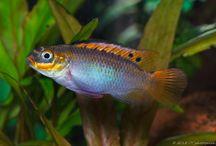 Cichlidae and betta