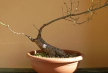 Viridarium - My little trees /  #bonsai