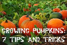 Pumpkin growing and recipes / by Andrea Grau