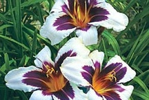 Daylilies I Grow / by Belinda Marlatt