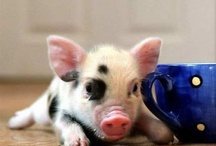 A.N.D Teacup Pig Obsession / How can you not love them:)