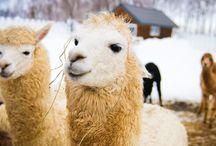 Llama&alpaca