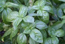 Herbs / Herbs in all their amazing varieties.