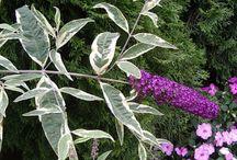 Feuillage marginé ou panaché / arbres et arbustes, lianes à feuilles marginées et panachées