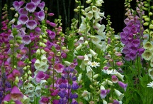 Foxgloves / Photos of real foxgloves and foxgloves in art.  / by Ariel Dawn