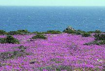 Desierto florido de chile 2015 flores endemicas