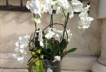 Phalaenopsis / Composizioni con piante di phalaenopsis