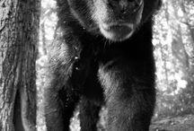 ours brun noir grizzli