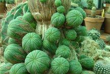 Plante ciudate